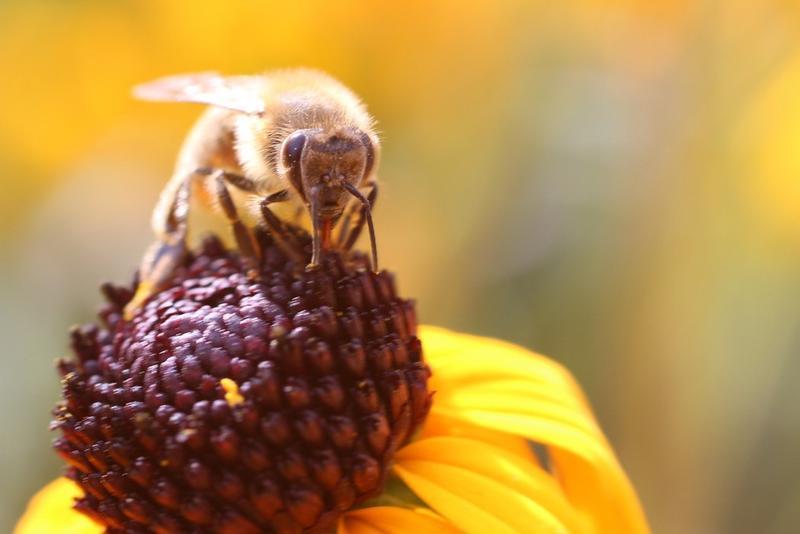 Biene sucht Nektar auf einer gelben Sonnenhutblüte