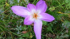 Wiese mit Blüte von Colchicum