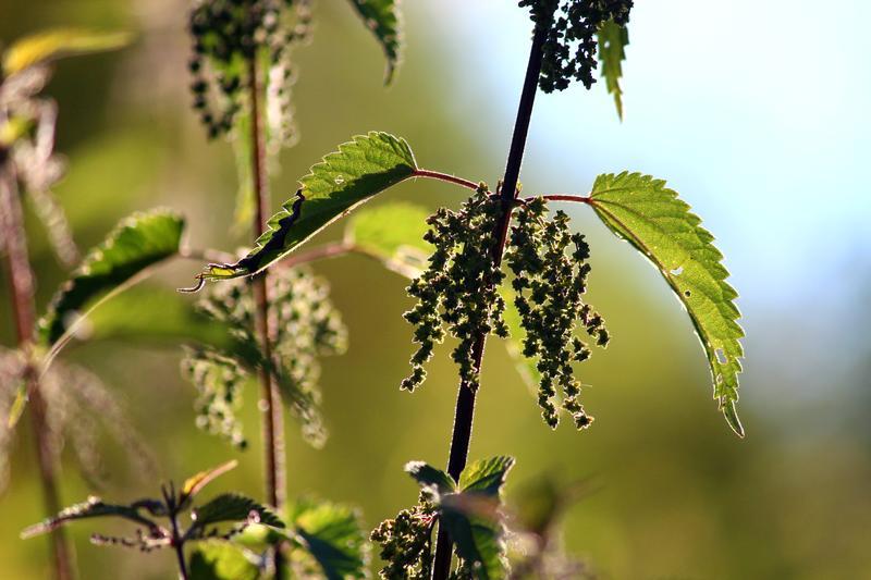 Urtica urens Blätter und Samen