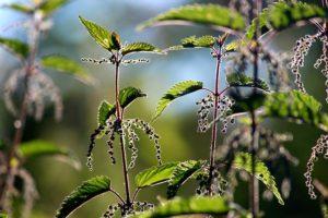 Brennnessel, Blätter und Samen im Sommer