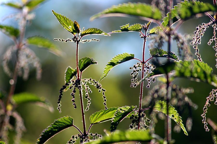 Brennnessel, Blätter und Samen