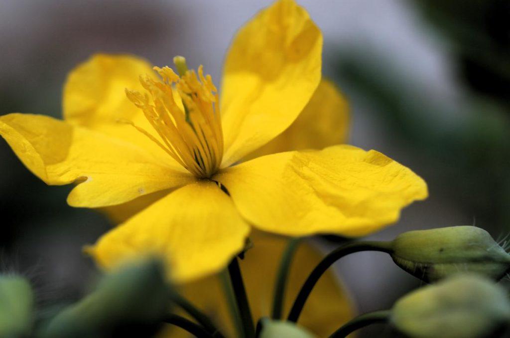 Nahaufnahme gelbe Schöllkrautblüte