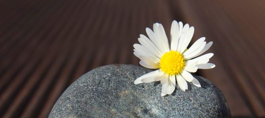 Blüte des Gänseblümchchens liegt auf grauem Stein vor dunklem Hintergrund
