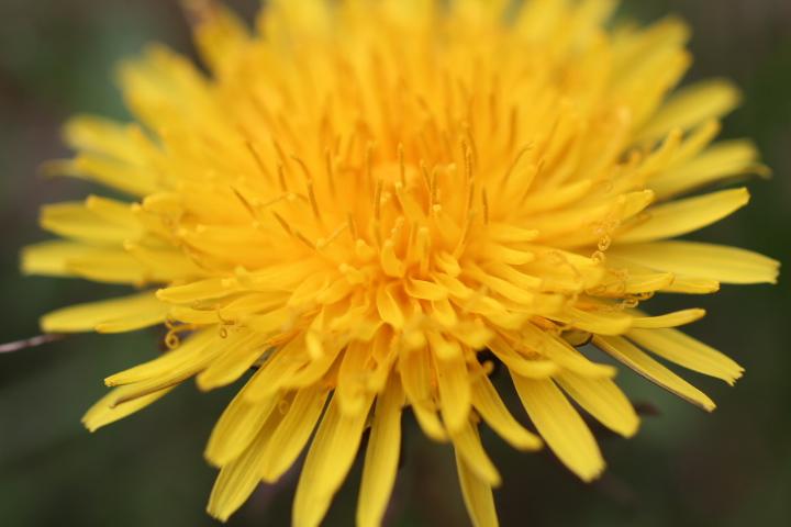 gelbe Blüte Löwenzahn