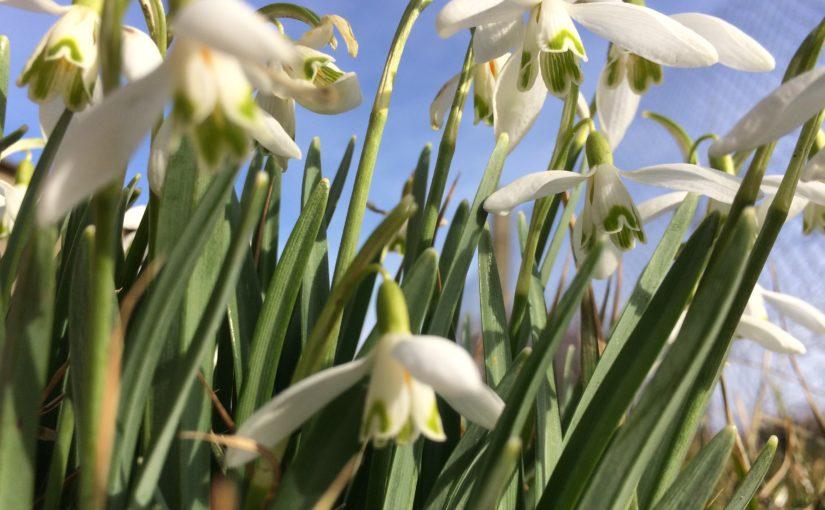 Nahaufnahme mehrerer Schneeglöckchen in der Blüte von unten gegen den blauen Himmel