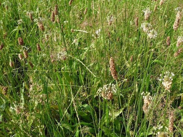 Rasen mit Spitzwegerichpflanzen während der Blüte