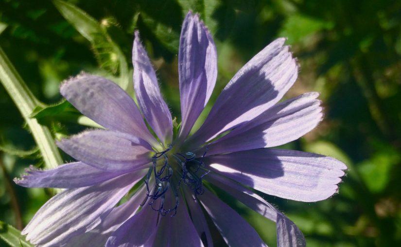 blau, Blüte, Wegwarte, Nahaufnahme,